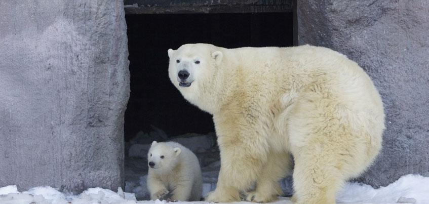 В ижевском зоопарке в открытый вольер вывели белого медвежонка