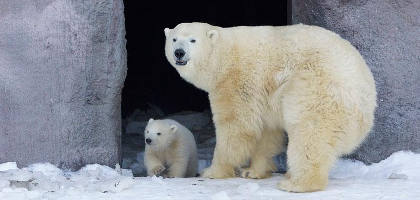 Жители Ижевска могут придумать имя белому медвежонку