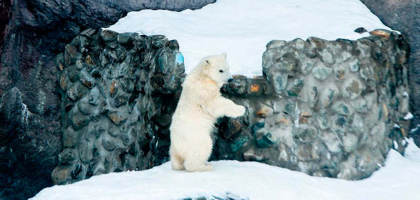 Фотофакт: белый медвежонок Пурга из ижевского зоопарка научилась плавать