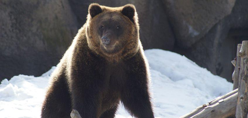 Фотофакт: бурый медведь Гоша проснулся в Зоопарке Удмуртии