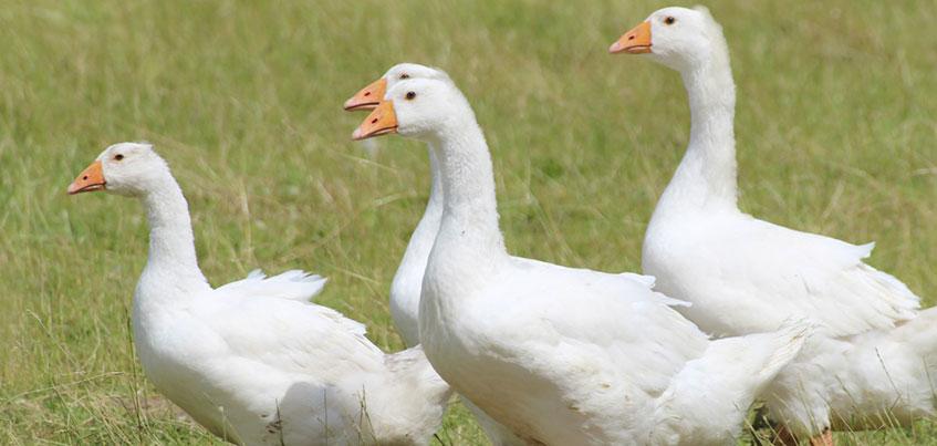 Зачем ижевчанам нужно ставить домашний скот на учет