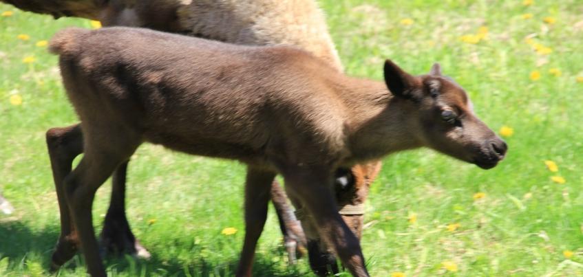 Пополнение произошло в семье северных оленей в Зоопарке Удмуртии