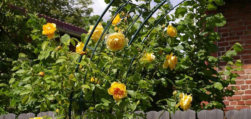 Как вырастить розу и сохранить королеву цветника на участке?