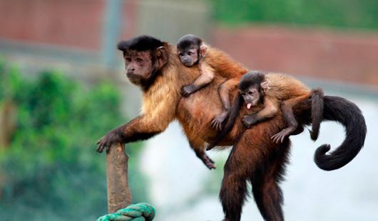В Ижевском зоопарке родились три маленьких обезьянки