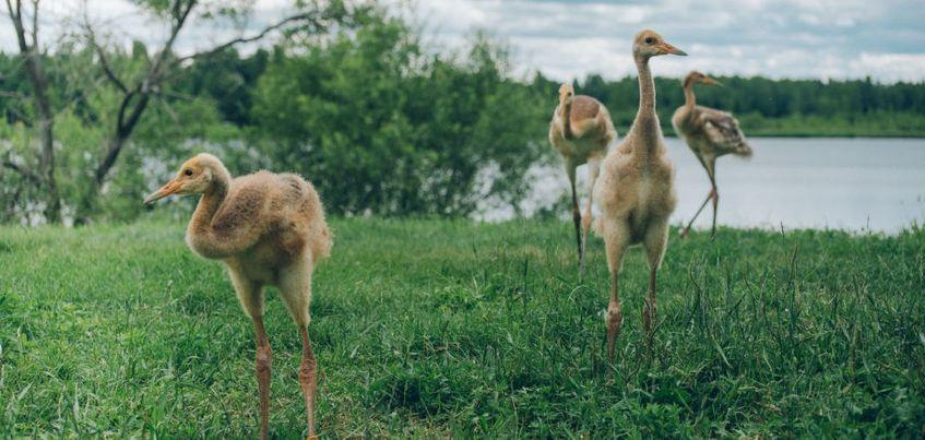 Двух японских журавлей из зоопарка Удмуртии подарили заповеднику в Амурской области