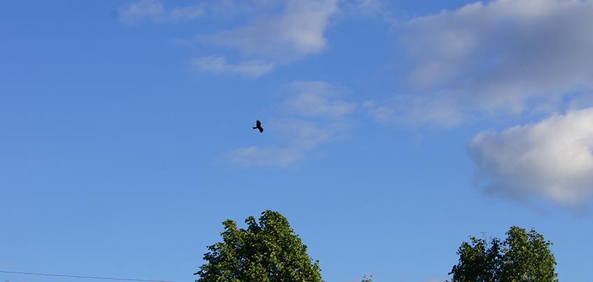 Все чаще в Ижевске стали появляться черные коршуны и чайки