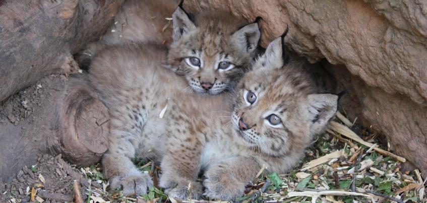 Три рысенка родились в Ижевском зоопарке