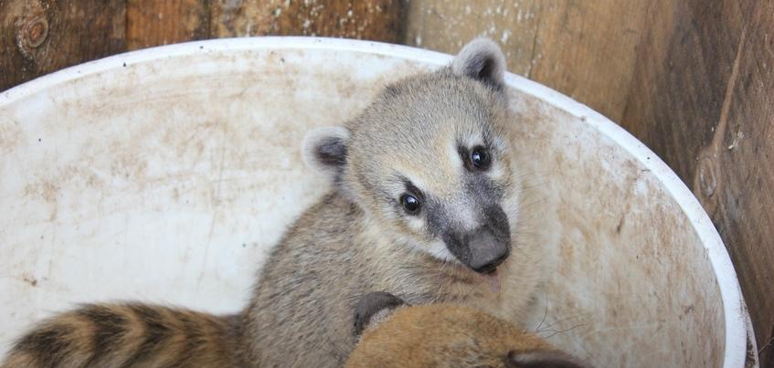Щенки носухи родились в зоопарке Ижевска
