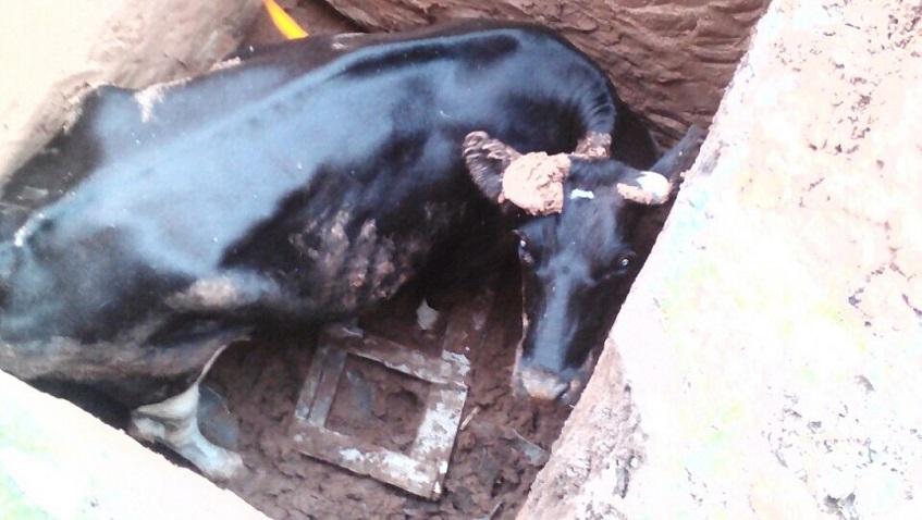 В Удмуртии спасатели подняли провалившуюся в яму корову