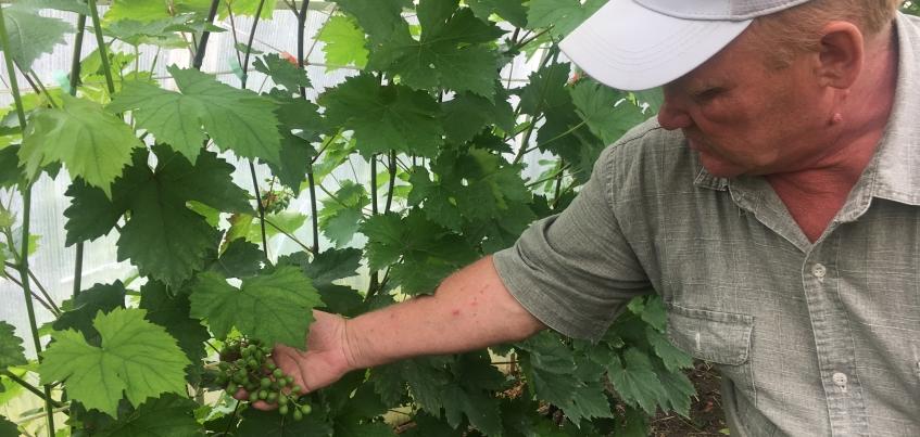 Тонна ягод ежегодно: как жителю Дебесского района удается выращивать виноград в Удмуртии