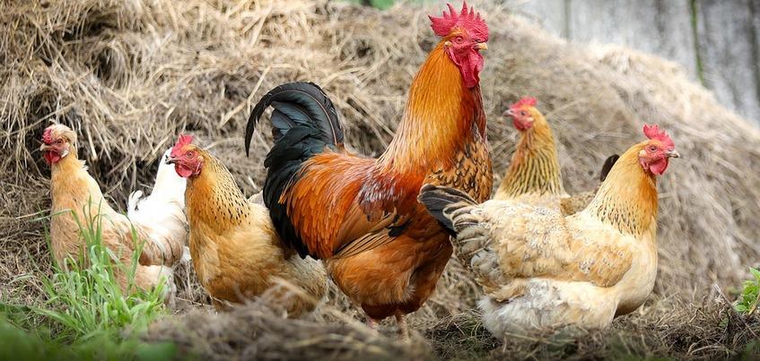 Карантин по птичьему гриппу установлен в Игринском районе