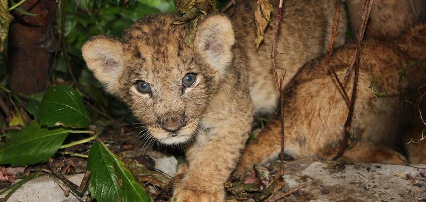 Три львенка родились в зоопарке Ижевска