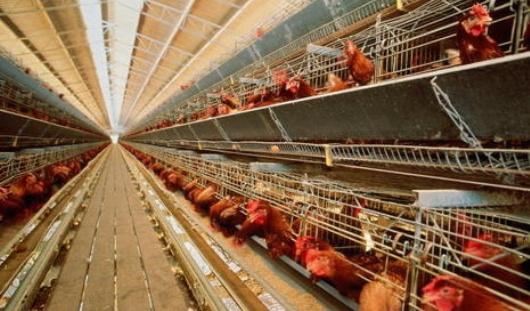 Почти 13 тысяч кур погибли от перегрева на птицефабрике в Удмуртии