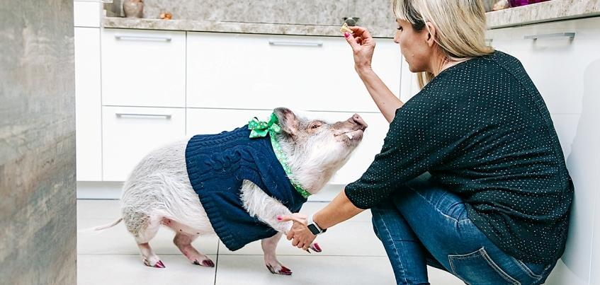 Пятачок и щетина: как ижевчане живут с мини-пигом