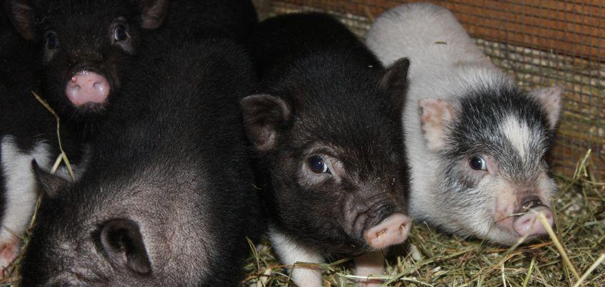 Пять мини-пигов появились в зоопарке Ижевска