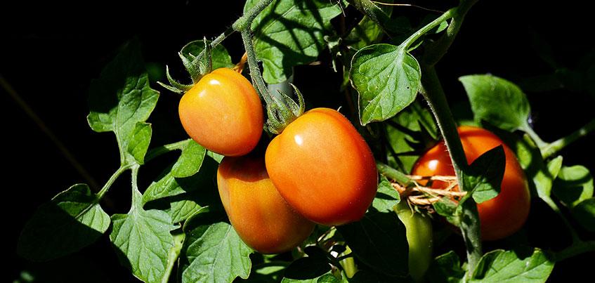 Когда высаживать томаты и перцы и можно ли пользоваться торфяными горшочками?