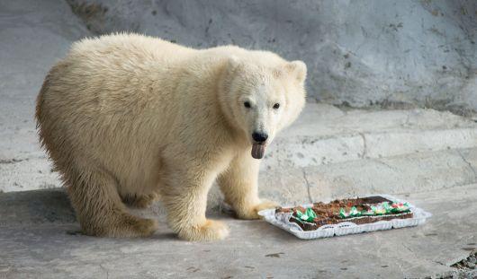 В ижевском зоопарке поселился спасенный на Новой Земле белый медвежонок