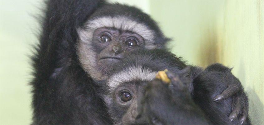 Чернорукие гиббоны Рокси и Тифани появились в зоопарке Ижевска