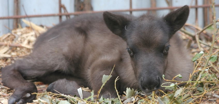 Ижевский зоопарк: молодой северный олень был убит посетителями