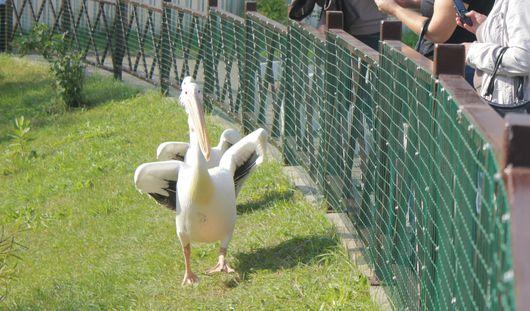 Специально для четырех пеликанов в Ижевске построили дом