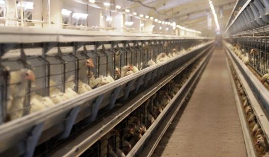 ЗАО «Птицефабрика «Чайковская» завершила реконструкцию нового корпуса для производства яиц