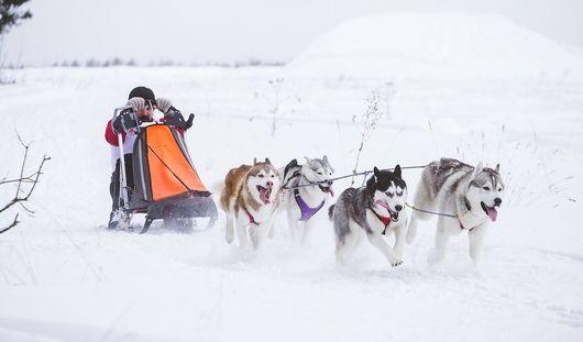Соревнования по ездовому спорту на собаках впервые прошли в Удмуртии