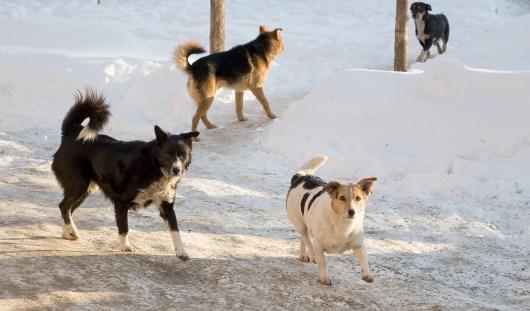 В течение года в Ижевске отловят 2700 собак