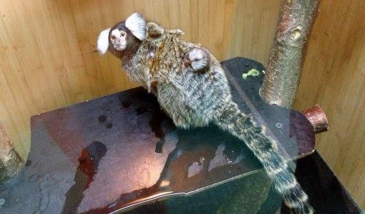 В Удмуртии в контактном зоопарке родились два белоухих игруна