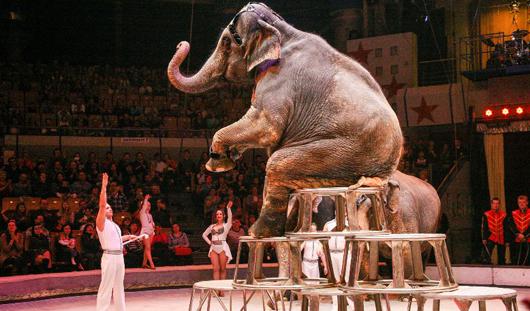 Животные в цирке Ижевска: обезьянки пьют чай с вареньем, а слоны лакомятся булками