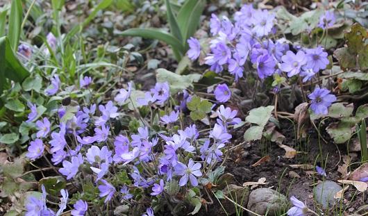 В Ижевске распустились первые весенние цветы