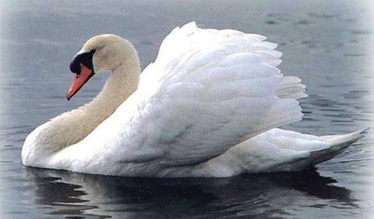 9 мая на Ижевский пруд прилетел белый лебедь