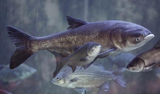 В Ижевский пруд снова могут запустить толстолобика