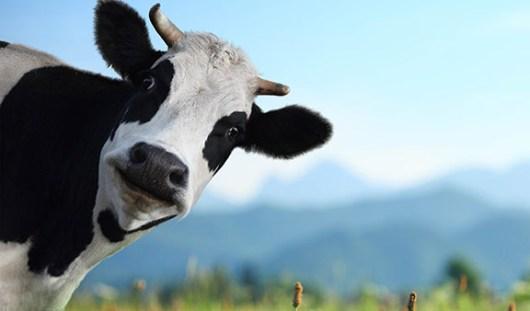 В Удмуртии владелец коровы заплатит штраф за ДТП