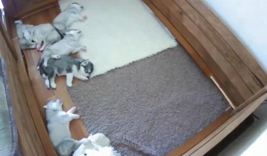 Видео недели: ижевские щенки хаски покоряют Интернет
