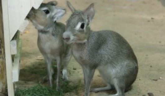 В зоопарке Ижевска поселились карликовые мары