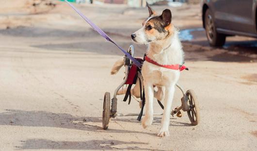 Жители Ижевска общими усилиями вылечили собаку с переломом позвоночника
