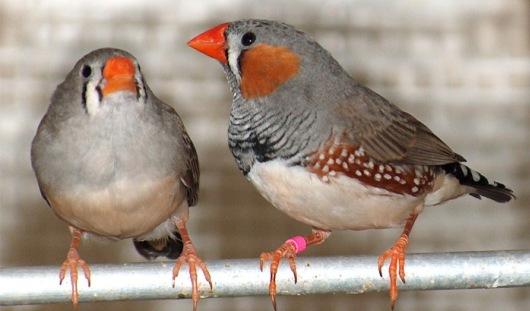 В зоопарке Удмуртии появились птички Зебровые Амадины