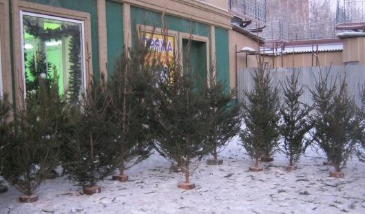 Где в Ижевске купить живую елку?