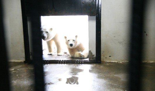 Закрытие столовой медакадемии и рождение медвежат в зоопарке: чем запомнилась ижевчанам эта неделя