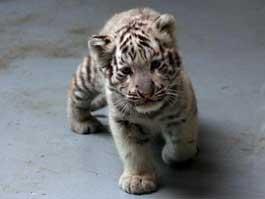 В ижевском зоопарке дворняжка выкормила двух редких белых тигрят