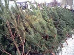 В Ижевске поймали нелегальных торговцев живыми елками
