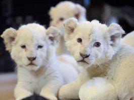 Новорожденных львят в ижевском зоопарке назовут мушкетерскими именами