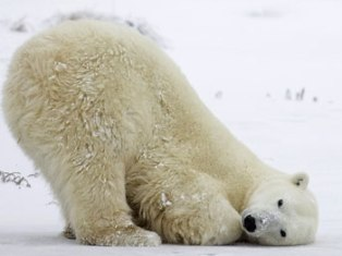 В Ижевск к белому медведю привезли невесту из Красноярска
