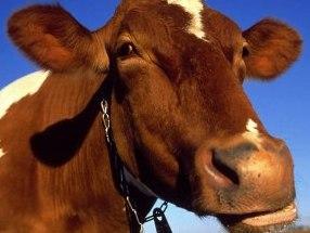В Якутии на коров надели меховые лифчики