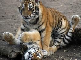 Амурским и бенгальским тигрятам, родившимся в Ижевске, дали имена богов