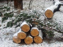 В Удмуртии «черные» лесорубы заработали более 2,6 миллионов рублей