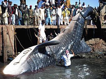 В Пакистане выловили 12-метровую мертвую акулу