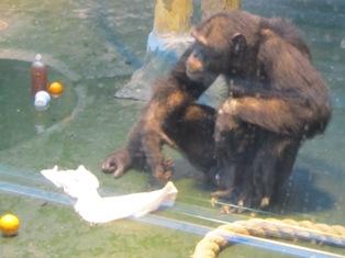 В зоопарке Ижевска шимпанзе после «женитьбы» начали мыть полы в клетке