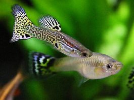 Интимная жизнь рыб удивила ученых