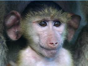 Ученые учат обезьян читать